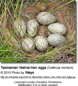 Tasmanian Native-hen eggs (Gallinula mortierii)