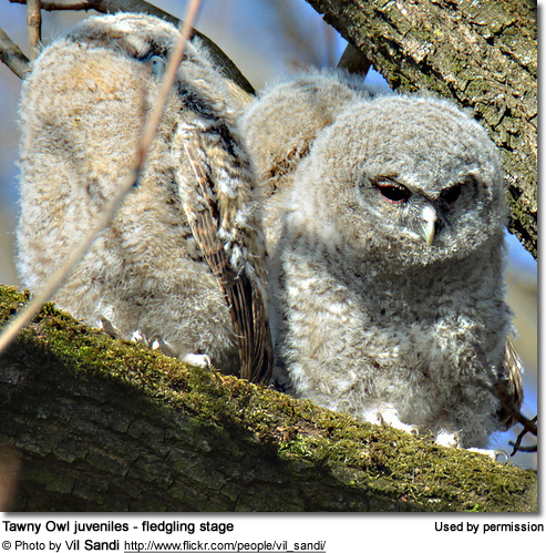 Tawny Owl juveniles - fledgling stage