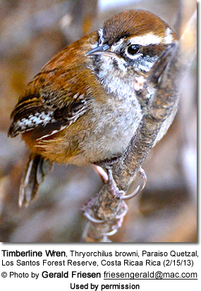 Timberline Wren, Thryorchilus browni