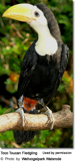 Toco Toucan Fledgling