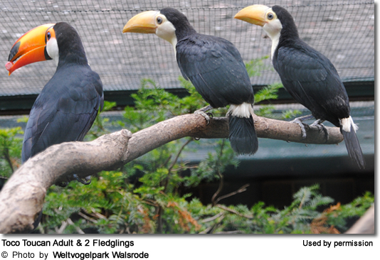 Toco Toucan Adult and 2 Fledglings
