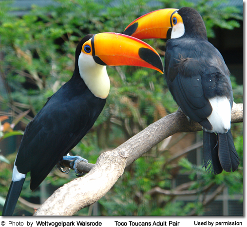 Toco Toucan Adult Pair