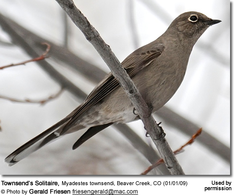 Townsend's Solitaire, Myadestes townsendi, Beaver Creek, CO