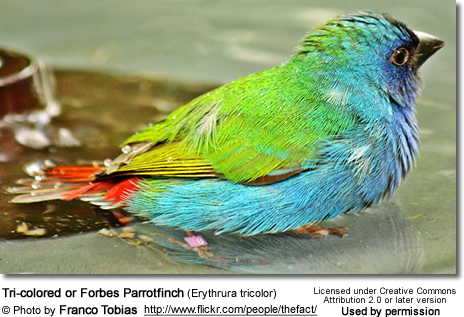 Tri-colored or Forbes Parrotfinch (Erythrura tricolor)
