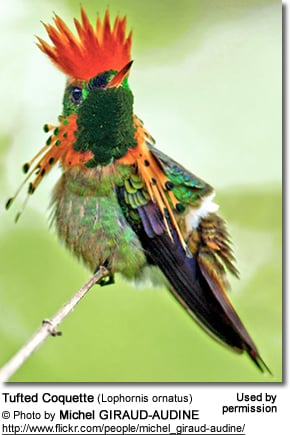Tufted Coquette (Lophornis ornatus)