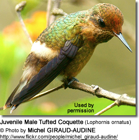 Juvenile Male Tufted Coquette (Lophornis ornatus)