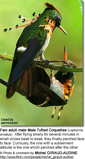 Male Tufted Coquettes (Lophornis ornatus)