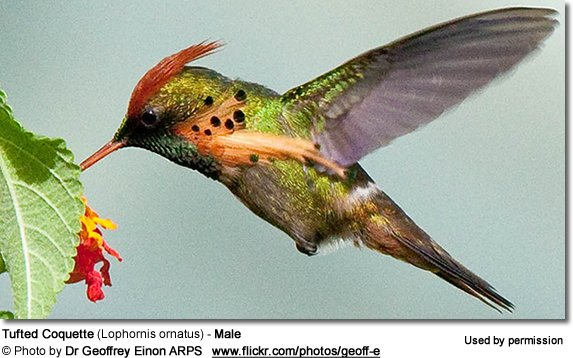Tufted Coquette (Lophornis ornatus) - Male