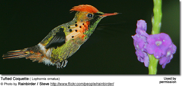 Tufted Coquette ( Lophornis ornatus)