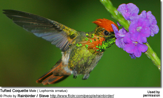 Tufted Coquette Male ( Lophornis ornatus)