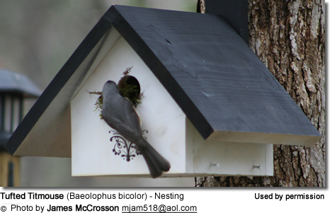 Tufted Titmouse (Baeolophus bicolor) - Nesting