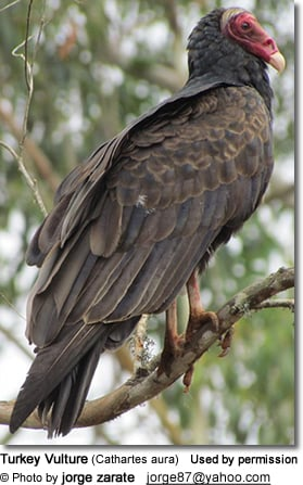turkey vulture pictures and facts
