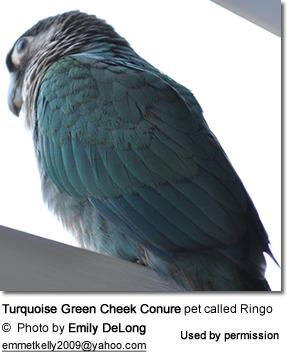 Turquoise Green Cheek Conure pet called Ringo