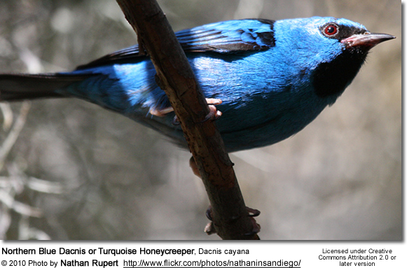 Northern Blue Dacnis or Turquoise Honeycreeper, Dacnis cayana