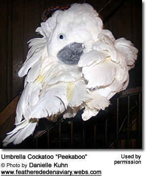Umbrella Cockatoo Peekaboo