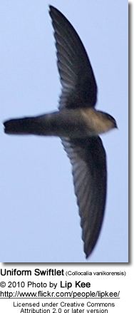 Uniform Swiftlet (Collocalia vanikorensis)
