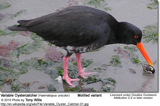 Variable Oystercatcher (Haematopus unicolor)
