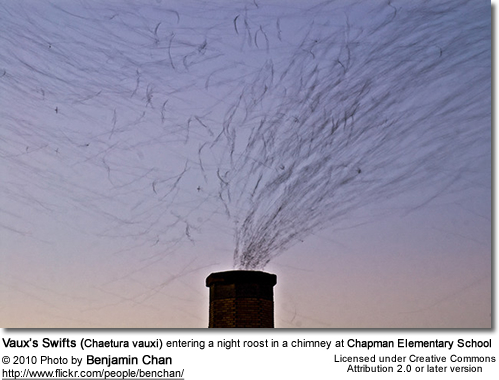 Vaux's Swifts (Chaetura vauxi) entering a night roost in a chimney at Chapman Elementary School