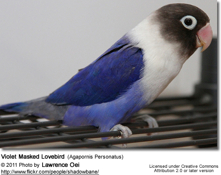 Violet Masked Lovebird (Agapornis Personatus)