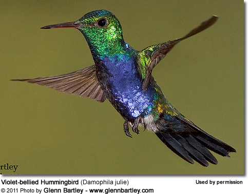 Violet-bellied Hummingbird (Damophila julie) - also known as Julie's Hummingbird