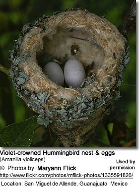 Violet-crowned Hummingbird nest and eggs