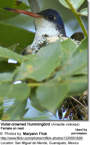 Violet-crowned Hummingbird (Amazilia violiceps)
