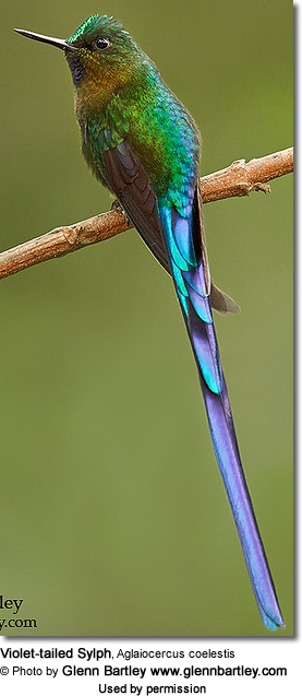 Violet-tailed Sylph, Aglaiocercus coelestis