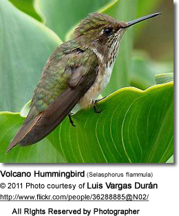 Volcano Hummingbird (Selasphorus flammula) - female