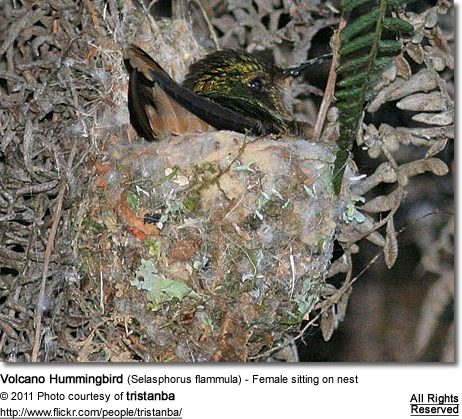 Volcano Hummingbird (Selasphorus flammula) - Female sitting on nest