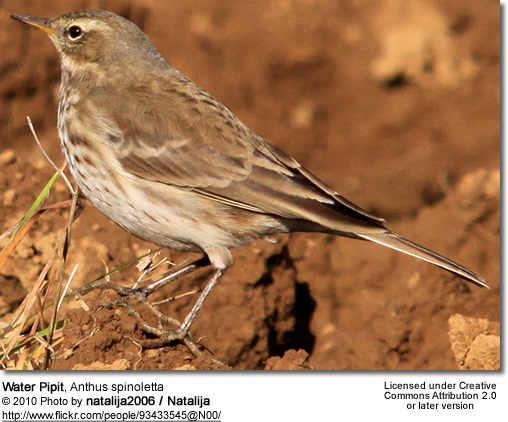 Water Pipit, Anthus spinoletta