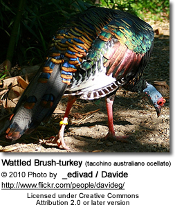 Wattled Brush-turkey