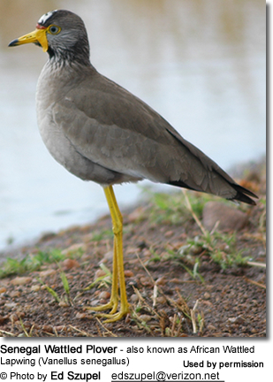 Senegal Wattled Plover - also known as African Wattled Lapwing (Vanellus senegallus)