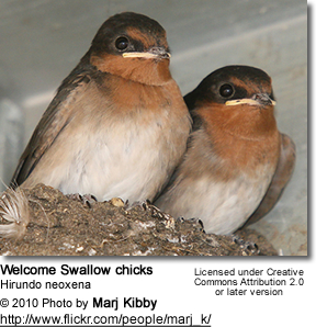 Welcome Swallow (Hirundo neoxena) - Fledglings