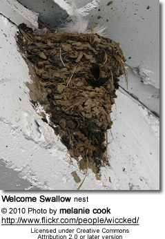 Welcome Swallow (Hirundo neoxena) - nest
