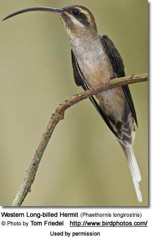 Western Long-billed Hermit (Phaethornis longirostris)
