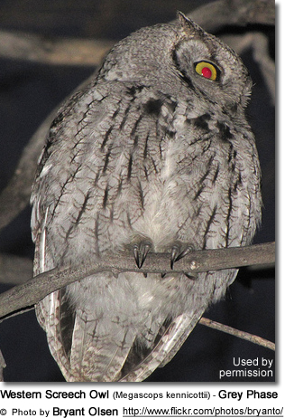 Western Screech Owl (Megascops kennicottii) - Grey Phase