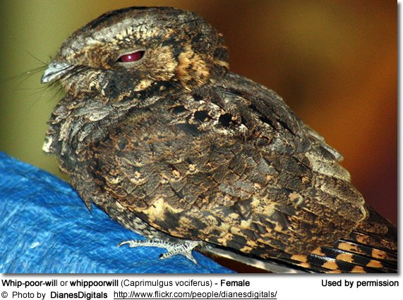 Whip-poor-will or whippoorwill (Caprimulgus vociferus) - Female