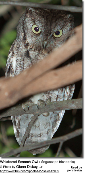 Whiskered Screech Owl (Megascops trichopsis)