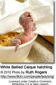 White-bellied Hatchling