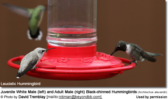 Juvenile White Male (left) and Adult Make (right) Black-chinned Hummingbirds (Archilochus alexandri)