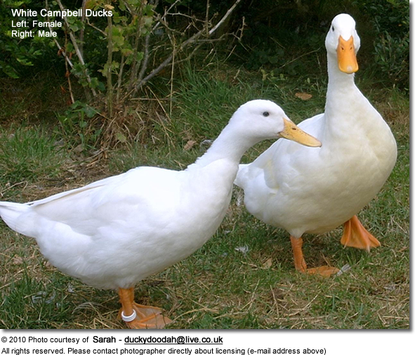 White Campbell Ducks - Left Female, Right Male