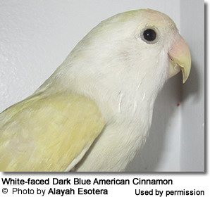 White Faced Dark Blue American Cinnamon Lovebird