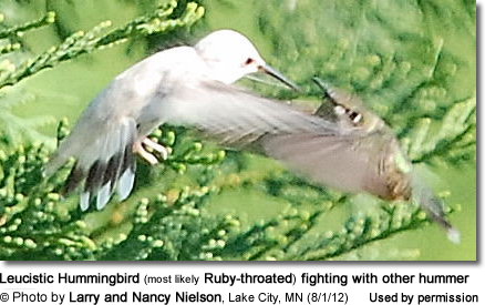 Leucistic Hummingbird (most likely Ruby-throated) fighting with other hummer