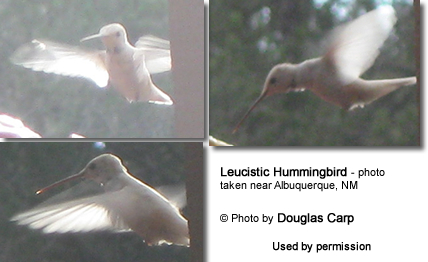 Leucistic Hummingbird - photo taken near Albuquerque, NM