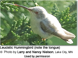 Leucistic Hummingbird (note the tongue)