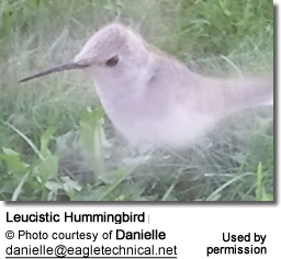White Hummingbird in Wisconsin