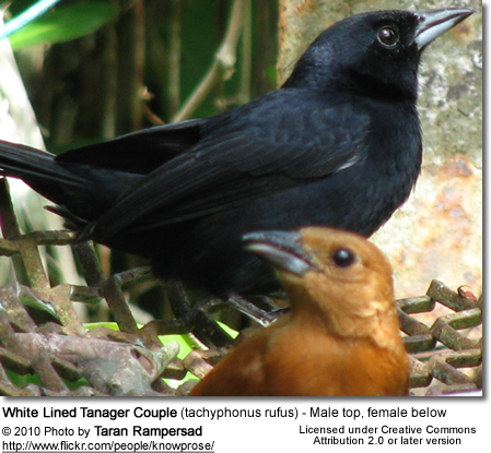 White Lined Tanager Couple (tachyphonus rufus) - Male top, female below