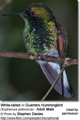 White-tailed or Guerrero Hummingbird (Eupherusa poliocerca)