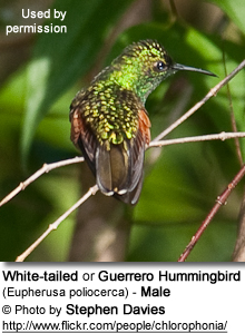 Male White-tailed Hummingbird