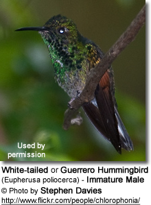 White-tailed or Guerrero Hummingbird (Eupherusa poliocerca) - Immature Male